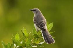 Mocking_bird