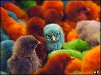 _40024545_chicks203ap